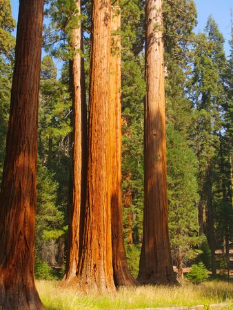 girth: Tall sequoias at the edge of a meadow