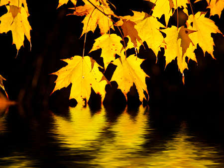 Backlit maples leaves glowing like gold flames above gently rippled water photo