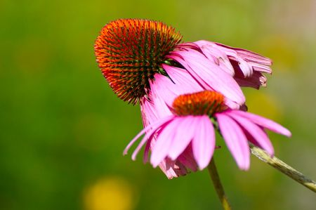 coneflowers: A pair of purple coneflowers (Echinacea purpurea) on a green backdrop