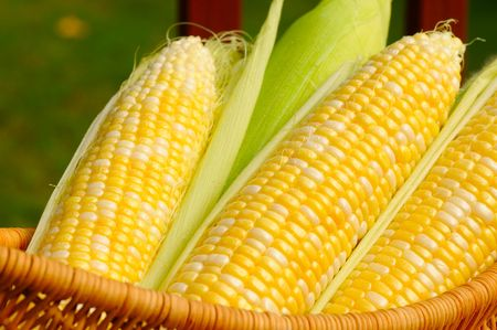 A basket of sweet corn, three ears partially husked Stock Photo - 5541539