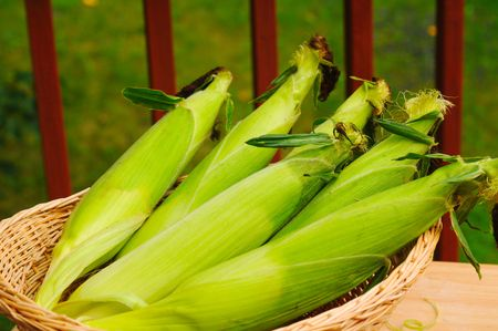 Freshly picked ears of sweetcorn, still in their husks Stock Photo - 6485078