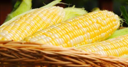 dappled: Basket of fresh sweetcorn, dappled with dew drops