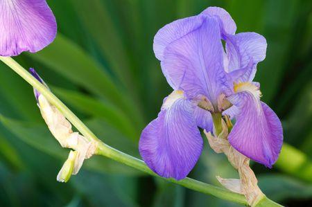 A beautiful lavender-hued bearded iris on a deep green backdrop photo