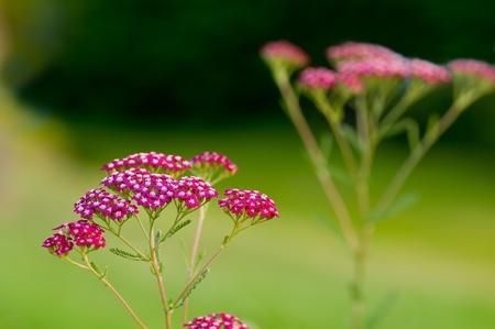 yarrow: Stalks of red yarrow (Achillea millefolium) against a beautiful green backdrop (front one in focus) Stock Photo
