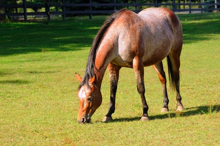 roan: A roan horse grazes contentedly in a pasture Stock Photo