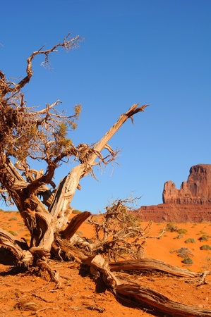 high desert: An ancient, gnarled juniper tree at Monument Valley, Arizona