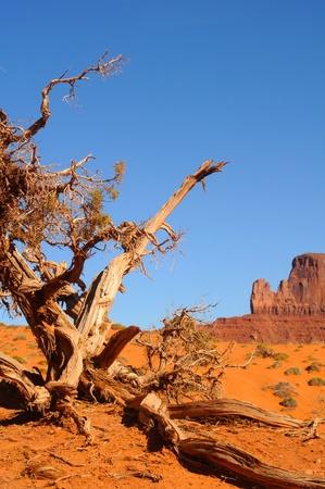 gnarled: An ancient, gnarled juniper tree at Monument Valley, Arizona
