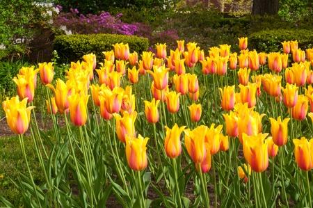 blushing: Bright array of Blushing Beauty tulips with an azalea backdrop