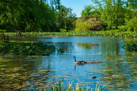 canada goose: Canada geese swimming in parade on a pond in spring