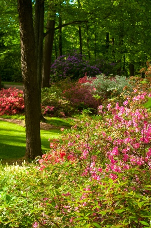 as far as the eye can see: Rhododendrons filling a garden as far as the eye can see
