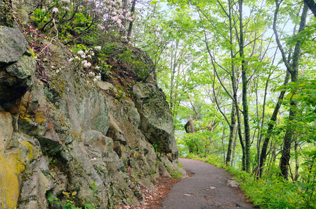 laurel mountain: Scenic path in the Smoky Mountains along a cliff face with mountain laurel