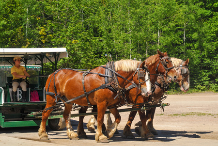 mackinac: MACKINAC ISLAND, MI - JUNE 26, 2014: A team of three horses pulls a carriage that is about to be boarded by tourists in Mackinac Island State Park .