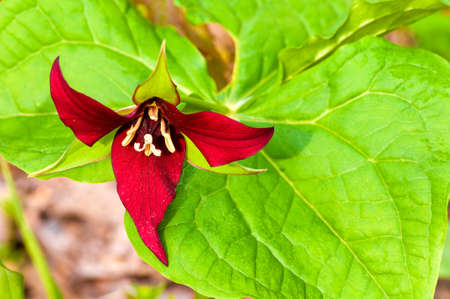 A relatively rare red trillium blooming in a spring wood