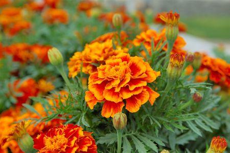 marigold: stunning marigold flowers (Tagetes)