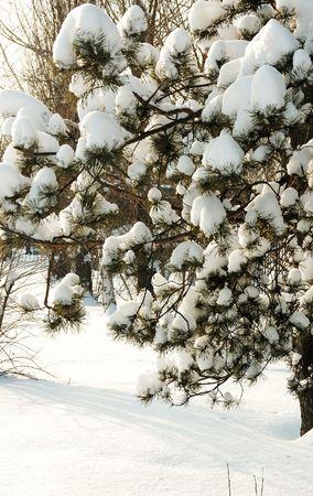ponderosa pine winter: Branch of pine tree with fresh snow Stock Photo