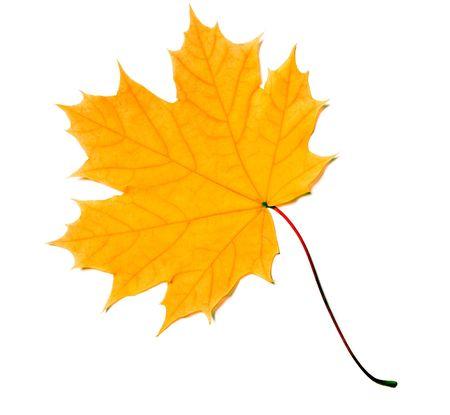 分離された黄色のカエデの葉