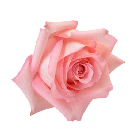 rosas rosadas: Rosa delicado se levant� macro aislado en blanco Trazado de recorte incluidos Foto de archivo