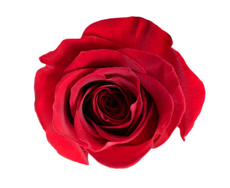 rose isolated: red rose isolated on white