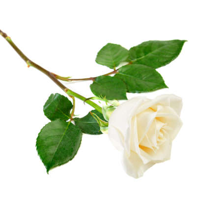 single rose: Single white rose with leaves isolated