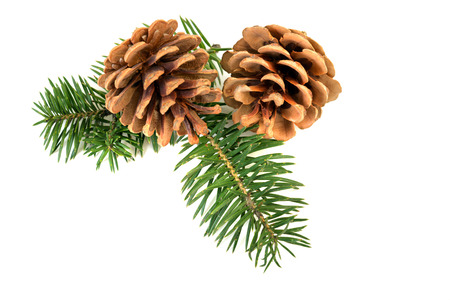 Pine cones with branch on a white background photo