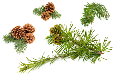 christmas tree branch: Fir branches with cones isolated on white background Stock Photo