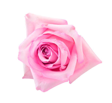white rose: perfect pink rose  isolated on white Stock Photo