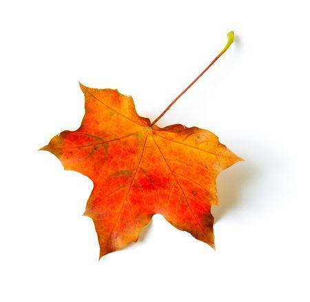 Een herfst gekleurde maple leaf op wit wordt geïsoleerd Stockfoto