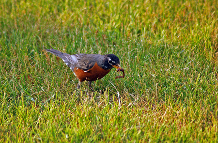 American robin on the ground, eating a worm Stock Photo