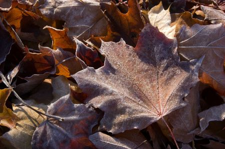 low temperature: Leaves in the frost Stock Photo