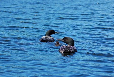 Two common loones with pullus in blue water of north lake photo