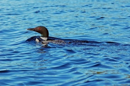 Common loon in blue water of north lake. Immer gavia  photo