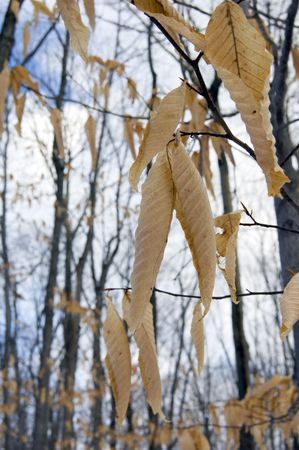 Dry leaves on trees in winter on sky background. Awenda. photo