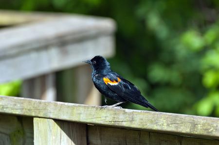 Red-winged Blackbird (Agelaius phoeniceus) photo