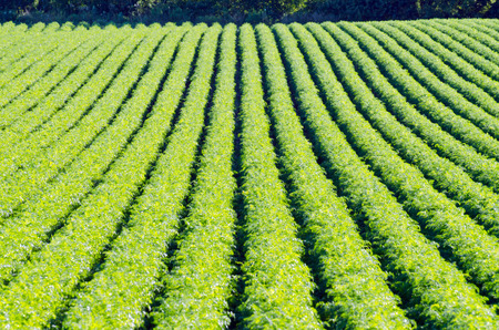 Rows on green plant on farm field. photo