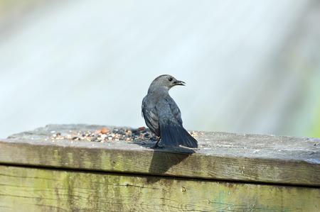 Brewers Blackbird is sitting on wood desk photo