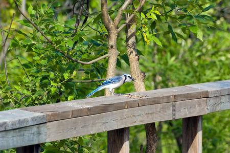 green jay: Blue Jay en una valla de madera sobre fondo verde
