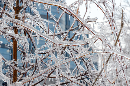 ice storm: Twigs of tree encased in ice after a freezing rain storm