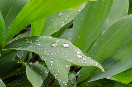 mayflower: lily-of-the-valley and dew drops on the leaves