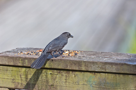 brewers: Brewers Blackbird is sitting on wood desk Stock Photo