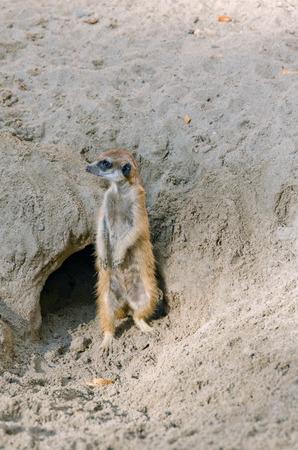 suricata suricatta: Alert meerkat (Suricata suricatta) standing on guard