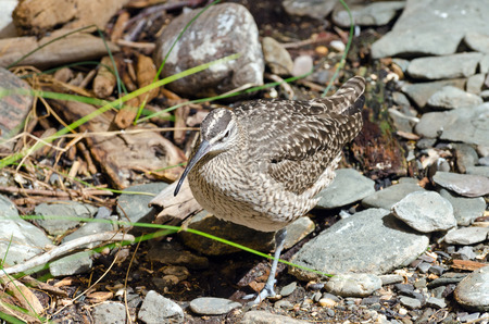 shorebird: A close-up picture of a Whimbrel (Numenius Phaeopus) on the rock shore