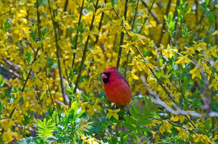 animal limb: Northern Cardinal (cardinalis cardinalis) on a stump in spring