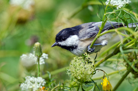 poecile: Black-capped Chickadee (poecile atricapilla) is sitting on a twig