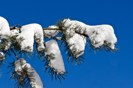 Spruces under snow and ski tracks  in sunny day