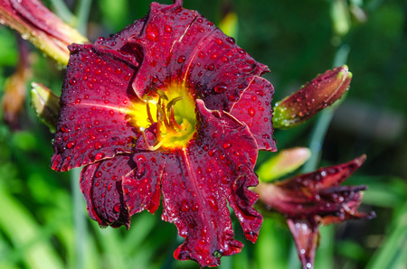 daylily: Delicate red daylily after a rain Stock Photo