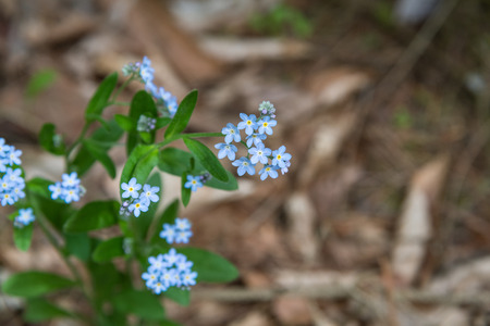 forget: Forget me not, small flowers on the dark background