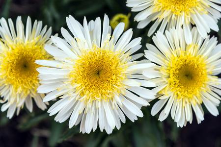 leucanthemum: Shasta Daisy flowers. Leucanthemum x superbum Real Glory.