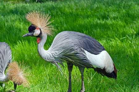crowned crane: Crowned Crane on green blur background