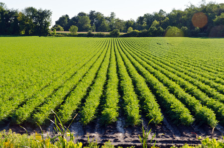farm field: Rows on green plant on farm field. Stock Photo