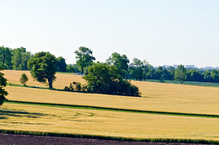 canada agriculture: Yellow field of wheat at summer day